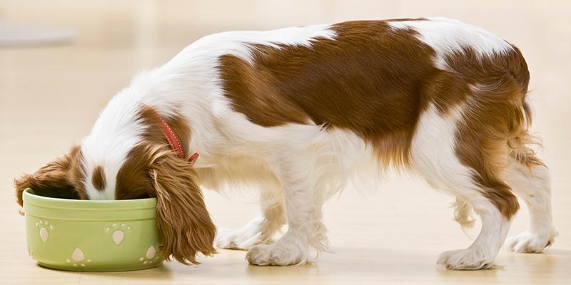 cachorro come muito rapido