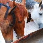 6 dicas para alimentação de cavalos