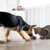 Gatos podem comer ração de cachorro?