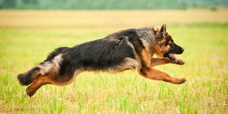 Problemas de Articulação em cachorros